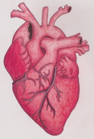 anatomical heart red
